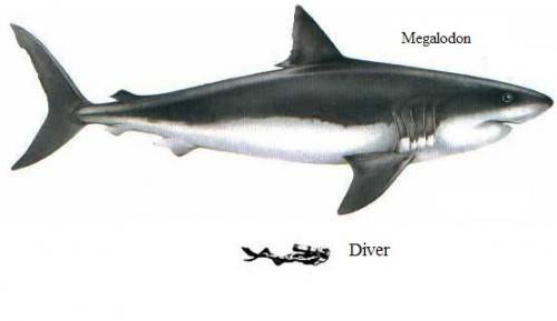 Carcharodon-Megalodon-Largest-Shark-Still-Alive